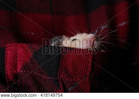 Cute Little Hamster In Pocket Of Red Flannel Shirt, Closeup
