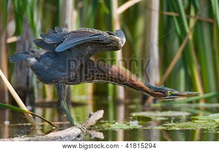 Photograph of a beautiful Green Heron found feeding on the banks of a midwest river stretching out its neck and wings. poster