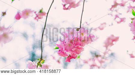 Pink blooming sacura tree in park