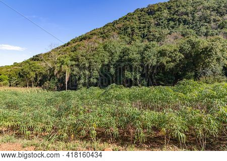 Cassava Plantation, Forest And Mountains, Santa Maria Do Herval, Rio Grande Do Sul, Brazil