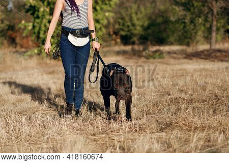 A Girl Walks A Black Pit Bull On A Leash. A Dangerous Fighting Dog Breed Obediently Walks With Its O