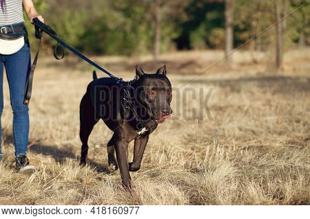 A Woman Walks A Big Black Pit Bull On A Leash In The Park. A Dangerous Breed Of Fighting Dogs, An Ex
