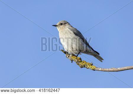 Female Mountain Bluebird At British Columbia Canada; North American