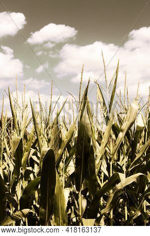 Cornfield With A Cloudy Sky In Virginia