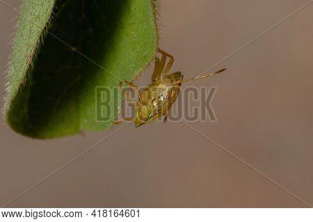 Stink Bugs Nymph