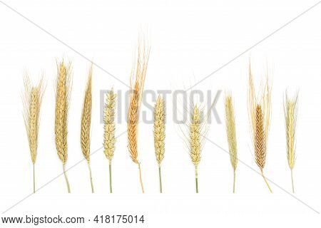 A Set Of Dried Ears Of Cereals Isolated On White Background. Dry Cereals Spikelets In A Row With Bla