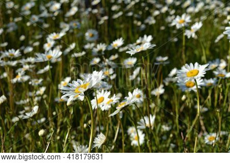 Beautiful View Of Meadow With Flowering Daisies In The Beginning Of Summer