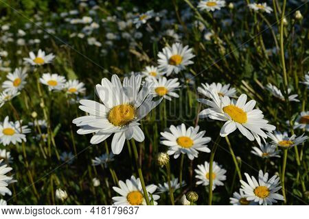 Daisies In Sunny Summer Day. Beautiful Flowers With White Petals And Yellow Core.