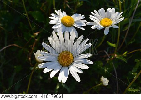 Daisies In Summer Garden. Beautiful Flowers With White Petals And Yellow Cores.