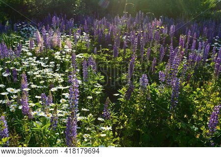 Beautiful Flowering Meadow With Daisy And Lupin Flowers In Sunny Day.