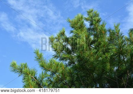 Green Top Of Cedar Tree On The Background Of Sky In Summer Day.