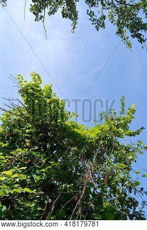 Overgrown Garden With Grape On Apple Tree In Summer