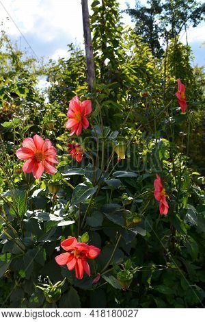 Bright Red Dahlia Flowers Are Backlit By Sunlight. Flowering Plant In Summer Garden.