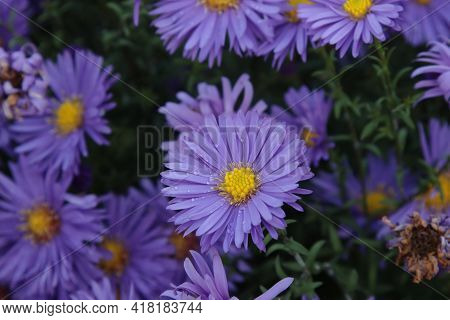 Bright Violet Flowers Of Michaelmas Daisies In Autumn