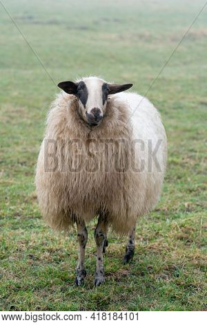 One Sheep In The Mist. The Sheep Looks Into The Camera, Detail Shot, In Full Body. Sheep Stands In T