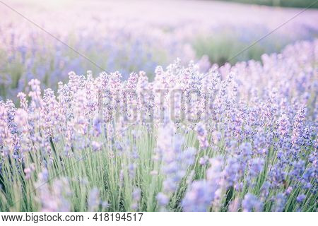 Close Up Lavender Flower Blooming Scented Fields In Endless Rows On Sunset. Selective Focus On Bushe