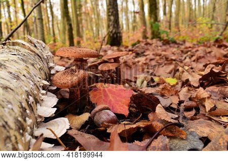 Armillaria. Mushrooms And Acorn Under The Tree In The Autumn Forest In The Leaves. Dry Leaves And A