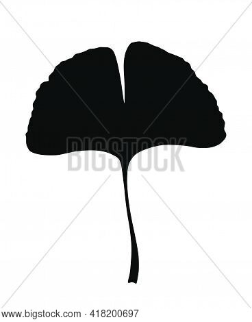 Ginkgo Or Gingko Biloba Leaf. Nature Botanical Vector Silhouette Illustration, Herbal Medicine Graph