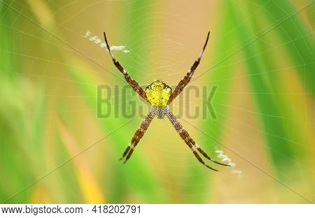Spider - Close Up Detail Of Spiders In The Wild, Yellow Body Spider. Argiope Appensa Is An Orb-weavi