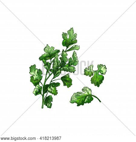 Parsley Fresh Green Branches And Leaves. Vector Color Vintage Hatching Illustration Isolated On A Wh