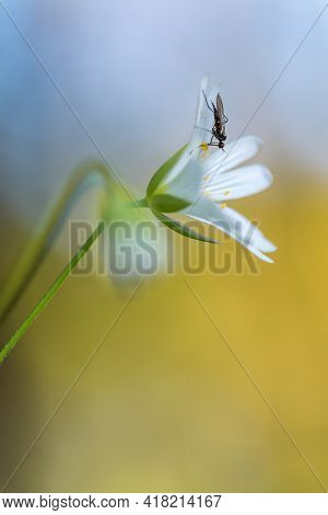 Macro Shot Of The Rabelera Flower With A Insect. Stichtwort With A Insect.