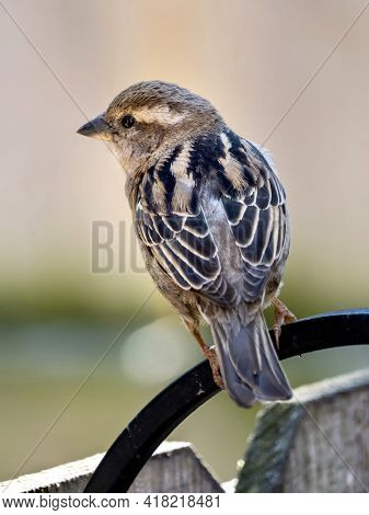Finch Bird Perched On On A Fence In The Spring In Nature, Wildlife Avian Animal Up Close With Its Wi
