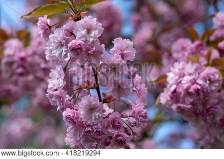 Close Up Of Bright Pink Flowers On Blooming Sakura. Blossom Cherry Tree By Blue Sky, Selective Focus