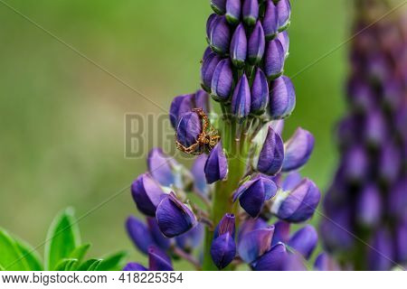 Blooming Macro Lupine Flower. Lupinus, Lupin Field With Purple And Blue Flower.spider In Lupine Flow