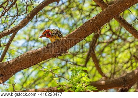 Colorful Red-and-yellow Barbet Sitting On A Branch, Copy Space Selected Focus