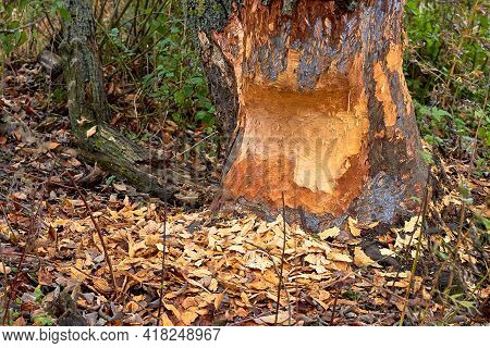 The Tree Was Gnawed By Beavers. Fallen Tree With Beaver Teeth Marks. Tree Trunk Nibbled By Beavers O
