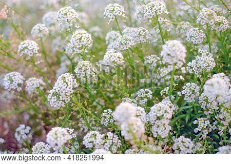 Alyssum Flowers, Lobularia Maritima Flowers. Flowers Vintage Background