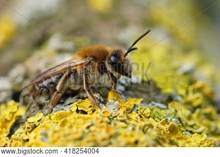 Closeup Of A Brown Hairy Female Mellow Miner, Andrena Mitis
