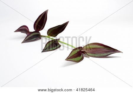 single wandering jew stem purple leaves on white background