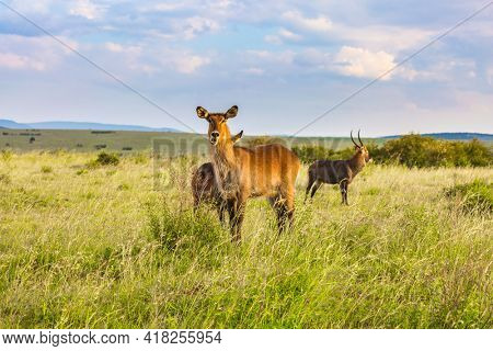 The most beautiful inhabitant of the African savannah is a waterbuck - antelope. Kenya. Safari in Masai Mara National Park. The concept of active, ecological and phototourism