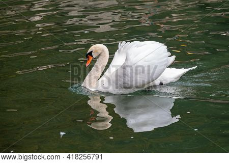 A Graceful White Swan Swimming On A Lake With Dark Green Water. A White Swan Swims In A Fighting Pos