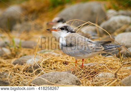 Juvenile Common Tern Sitting On Ground In Summer Nature