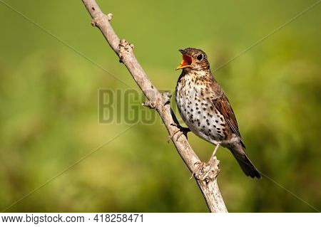 Song Thrush Singing On Branch In Sunlight With Copy Space