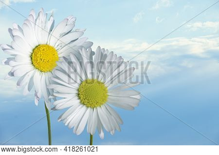 Beautiful Daisy In The Sun. Summer Bright Landscape With Daisy Wildflower Before Blue Sky. Springtim