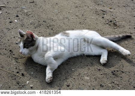 A white cat with black spots sprawled on the trail. Pet for a walk in summer. View from above.