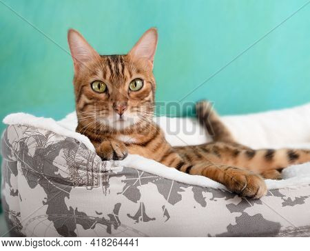 Bengal Domestic Cat Relaxing On White Bed At Home