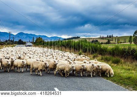 The South Island of New Zealand. Huge herd of sheep crosses the road. White thin fleece from New Zealand is highly regarded in the world market. The concept of active, environmental and photo tourism