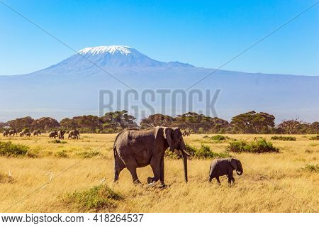 Fabulous journey to the African savannah. Herd of wild elephants grazes at the foot of famous Mount Kilimanjaro. Africa.