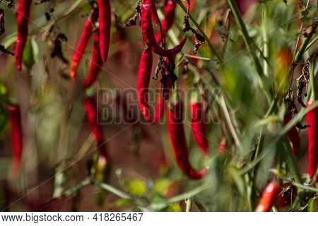 Organic Fresh Red Hot Chili Growing On A Farm Land Field Between Kalaw And Inle Lake, Shan State, My