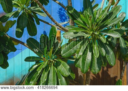 Beautiful Lush Green Leaves Of Plumeria Obtusa Or Frangipani Tropical Bush With A Bright Blue Turquo