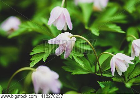 Wood Anemone Flowers In The Forest - Anemone Nemorosa