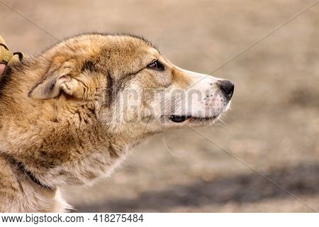 Head Of Russian Hound Hunting Dog Breed Close-up.