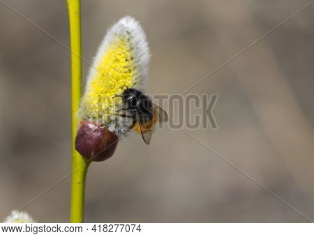 Bumblebee Collects Pollen On A Yellow Spring Flower. Willow Branch With Yellow Spring Flowers. Delic