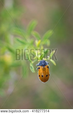 A Closeup Shot Of A Blister Beetle On A Plant