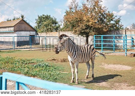 Striped Black And White Zebra At The Zoo Locked In A Cage, Sunny Warm Day, Animal, Fauna, Nature, Gr