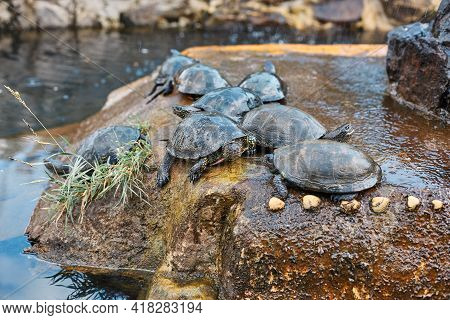 Turtle Family Calming On The Stone In Pond In The Zoo, Tortoises On A Rock Near Water Sunbathing, An